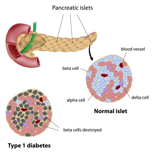 The pancreas produces digestive enzymes, insulin, and other hormones